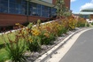 Tough, mid-sized Kangaroo Paw for the landscape