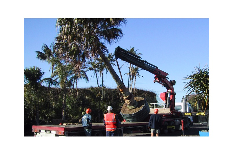 Loading of transplanted Livistona palm