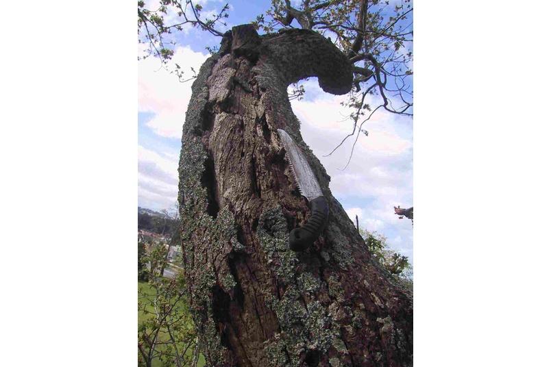 Hazard inspection of over-mature Oak tree