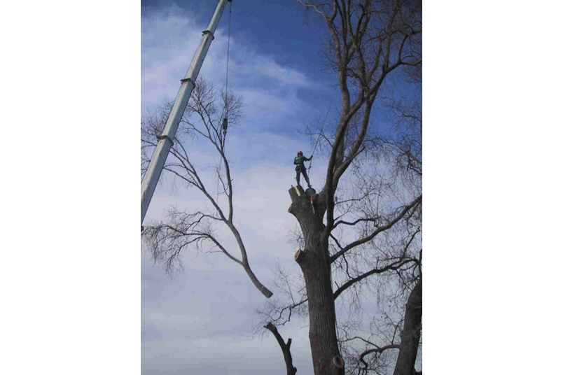 Removal of over mature Poplar with 100 tonne crane