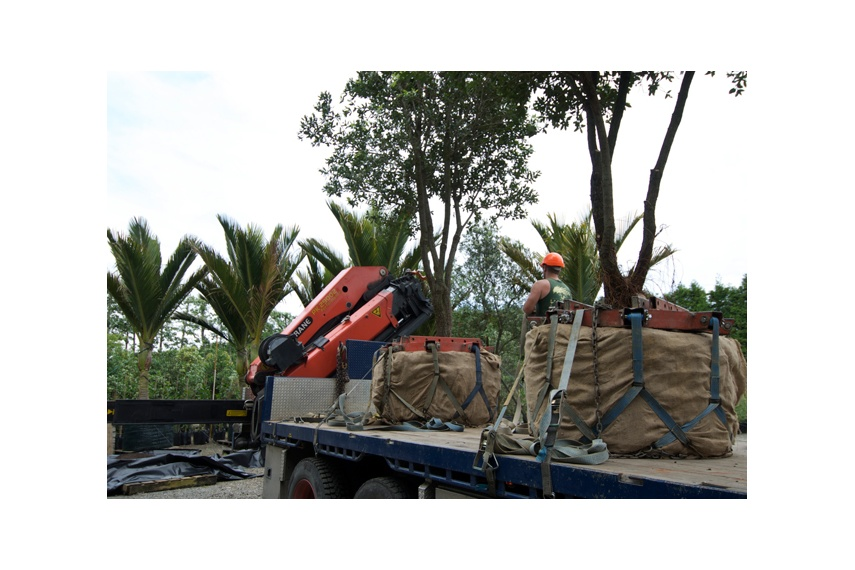 Transplanted semi-mature grade trees being prepared for containerising in the company's nursery